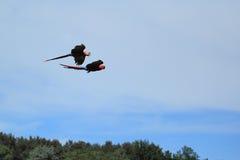 飞行猩红色金刚鹦鹉 免版税库存图片