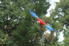 飞行猩红色金刚鹦鹉 免版税库存照片