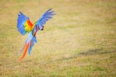 飞行猩红色金刚鹦鹉- Ara澳门 免版税库存照片