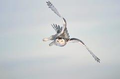 飞行猫头鹰天空雪白色冬天 免版税库存照片