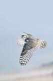 飞行猫头鹰雪白色冬天 免版税库存照片