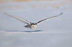 飞行猫头鹰雪白色冬天 库存照片