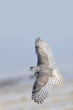 飞行猫头鹰雪白色冬天 库存图片