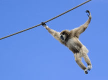 飞行猴子 免版税库存照片