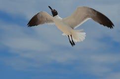飞行由天空决定的笑的鸥在一多云天 免版税库存图片