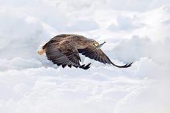 飞行白盯梢了老鹰, Haliaeetus albicilla,北海道,日本 行动与冰的野生生物场面 在飞行的老鹰 与f的老鹰战斗 免版税库存照片