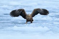 飞行白盯梢了老鹰, Haliaeetus albicilla,北海道,日本 行动与白色冷的冰的野生生物场面 老鹰飞行着陆土佬 免版税库存图片