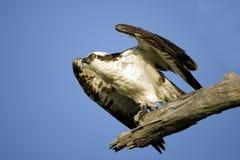 飞行白鹭的羽毛采取 免版税库存图片