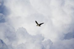 飞行白鹭的羽毛 免版税库存图片