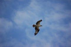 飞行白鹭的羽毛 图库摄影