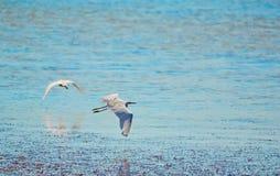 飞行白鹭 库存照片
