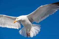 飞行的伟大的支持黑的鸥在布里坦尼 库存照片