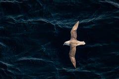 飞行的北管鼻获在大西洋,跟随小船 库存图片