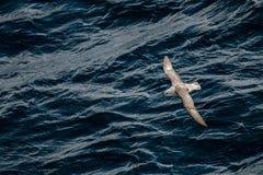 飞行的北管鼻获在大西洋,跟随小船 库存照片
