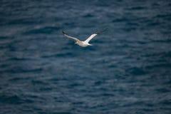 飞行的北Gannet在跟随小船的大西洋 库存照片