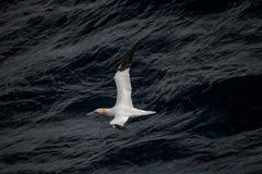 飞行的北Gannet在跟随小船的大西洋 库存图片