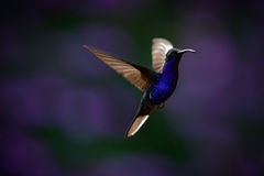 飞行的大蓝色蜂鸟与被弄脏的黑暗的紫罗兰色花的紫罗兰色Sabrewing在背景中 免版税库存图片