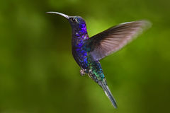 飞行的大蓝色鸟紫罗兰色Sabrewing有被弄脏的绿色背景 在飞行的蜂鸟 飞行蜂鸟 行动野生生物场面 免版税库存图片