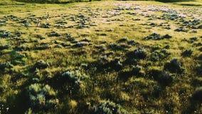 飞行的寄生虫在惊人的田园诗草的非常紧密和跟随野生鹿使与花的大草原简单的领域环境美化 股票视频