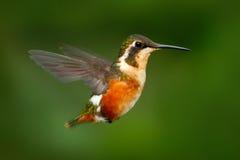 飞行的小蜂鸟紫色红喉刺莺的Woodstar有清楚的绿色背景在厄瓜多尔 野生生物从南美的行动场面 库存图片
