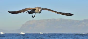 飞行的少年海带鸥鸥属dominicanus、亦称多米尼加共和国的鸥和黑色支持海带鸥 背景蓝天 f 免版税图库摄影