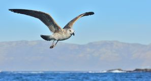 飞行的少年海带鸥鸥属dominicanus、亦称多米尼加共和国的鸥和黑色支持海带鸥 背景蓝天 f 库存照片