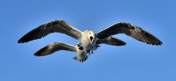 飞行的少年海带鸥鸥属dominicanus、lDominican鸥和黑色支持海带鸥 背景蓝天 库存照片