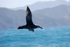 飞行的巨型北海燕 免版税库存照片