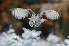 飞行的巨大灰色猫头鹰,猫头鹰类nebulosa,在白色雪树上有橙色秋天森林背景 库存照片