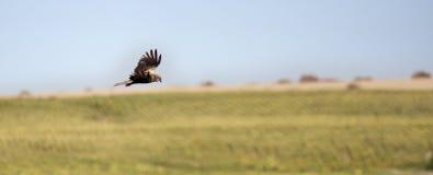 飞行的掠食性动物 免版税库存照片