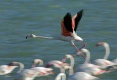 飞行的更加巨大的火鸟赛跑,摇摄射击了在采取在Aker,巴林 免版税库存图片