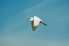 飞行的极大的白鹭 库存图片