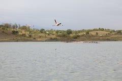 飞行的桃红色火鸟在湖 库存照片