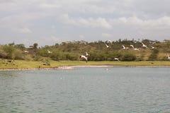 飞行的桃红色火鸟在湖 免版税库存图片