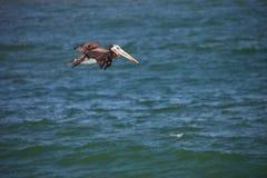 飞行的棕色鹈鹕Paracas -秘鲁 免版税库存图片