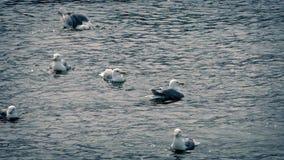 飞行的海鸥潜水和  影视素材
