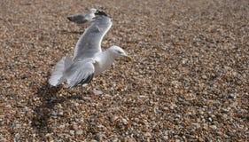 飞行的海鸥-小卵石 库存照片