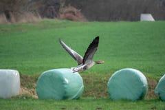 飞行的灰色鹅在春天 库存图片