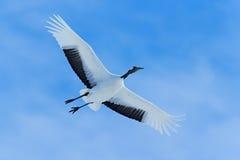 飞行的白色鸟红加冠了起重机,粗碎屑japonensis,与开放翼,与白色云彩的蓝天在背景,北海道,日本中 库存照片