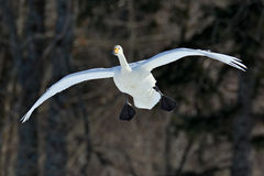 飞行的白色鸟,美洲天鹅,天鹅座天鹅座,与黑暗的森林在背景中,北海道,日本 免版税库存图片
