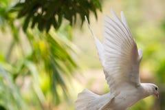 飞行的白色鸽子在雨林里海南岛(中国) 免版税图库摄影