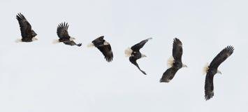 飞行的白头鹰 免版税库存图片