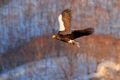 飞行的罕见的老鹰 Steller ` s海鹰, Haliaeetus pelagicus,飞行的鸷,与蓝天在背景中,北海道,日本 免版税库存照片