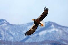 飞行的罕见的老鹰 Steller& x27; s海鹰, Haliaeetus pelagicus,飞行的鸷 北海道,日本 免版税图库摄影