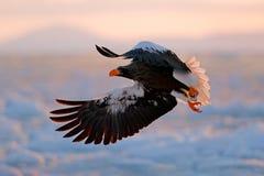 飞行的罕见的老鹰 Stellerl ` s海鹰, Haliaeetus pelagicus,飞行的鸷,与蓝天在背景中,北海道,日本 免版税库存图片