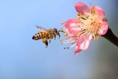 飞行的蜜蜂离开金桃子花 免版税库存照片