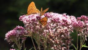 飞行的蝴蝶,在花的蝴蝶本质上,与昆虫的庭院视图 股票录像