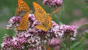 飞行的蝴蝶,在花的蝴蝶本质上,与昆虫的庭院视图 库存照片