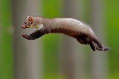 飞行的逗人喜爱的森林动物 跳跃的白胸貂,小机会主义的掠食性动物在自然栖所 榉貂,市场foina,在ty 免版税库存图片