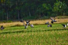 飞行的野生鸽子 免版税库存照片